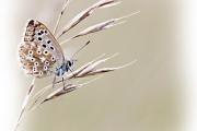 RK_VK_vlinder